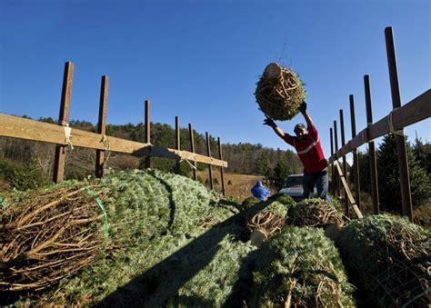 harvesting of the christmas trees 24 pics
