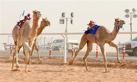 woman set  participate  saudi camel race