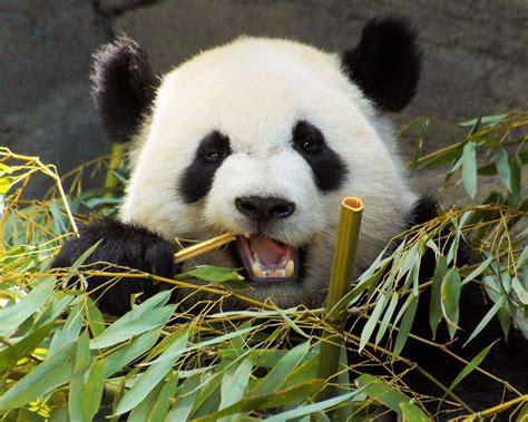 giant panda  herbivore    gut microbiota