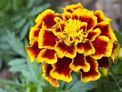 African Marigolds Flowers Garden Plants Marigold Farmers