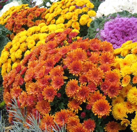 51. Mums the Word | Chrysanthemums were first cultivated ...
