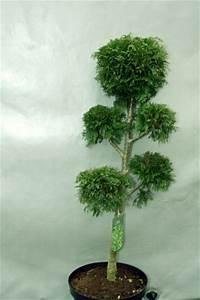 2 stuck thuja plicata ponpon lebensbaum formschnitt bonsai With whirlpool garten mit thuja bonsai kaufen