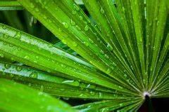Palme Gelbe Blätter : palme bekommt braune flecken ursachen und ma nahmen ~ Lizthompson.info Haus und Dekorationen