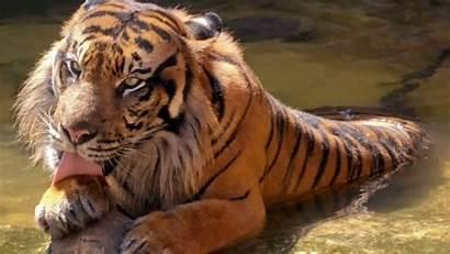 Tiger 1080p Wallpapers Slideshow Nature Nice Animal