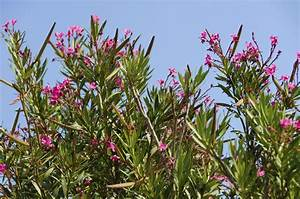 What Are Oleander Hardiness Zones  U2013 How Cold Can Oleanders