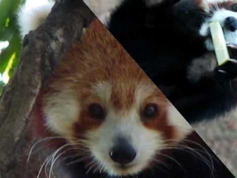 Red Panda And Master Shifu Youtube