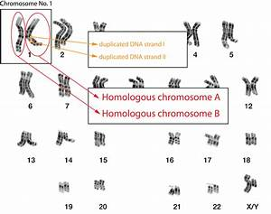 BioBook | Leaf: What are homologous chromosomes?