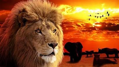 Lion King Wallpapers Beasts Safari Phone Lions