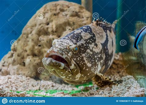 grouper giant queensland tank coral concept