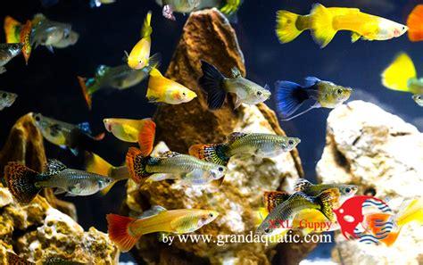Taille Aquarium Poisson Guppy Poissons Taille Pour L Exportation Des Poissons D Aquarium Autres Produits D Animal De