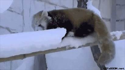 Animals Falling Snow Gifs Panda Giphy Clumsy