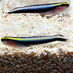 Info Needed Diver s Den ORA Sharknosed Goby Pair Reef