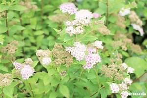 Spirea  Spiraea Bushes  Bridal-wreath Plant