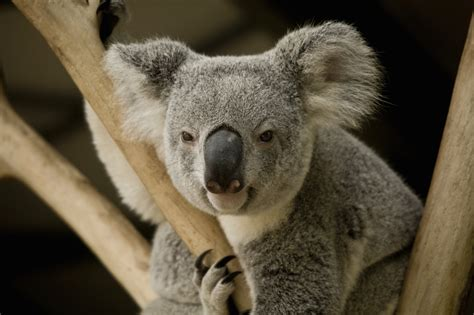 cuddling  koala  australia huffpost