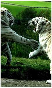 tiger, White Tigers, Animals Wallpapers HD / Desktop and ...