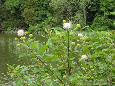 Buttonbush (Cephalanthus occidentalis ...