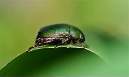 Beetle Insect Crawling Insects Wallpapers Animals Species