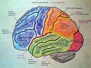 Telencephalon Anatomy