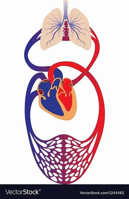 Circulation Blood System Human Vector Royalty