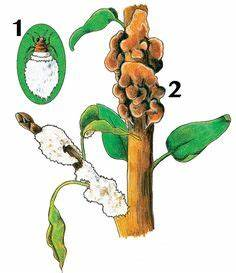 Wucherungen An Pflanzen : kirschessigfliegen mit fallen bek mpfen pflanzenschutz pinterest pflanzenschutz pflanzen ~ Buech-reservation.com Haus und Dekorationen