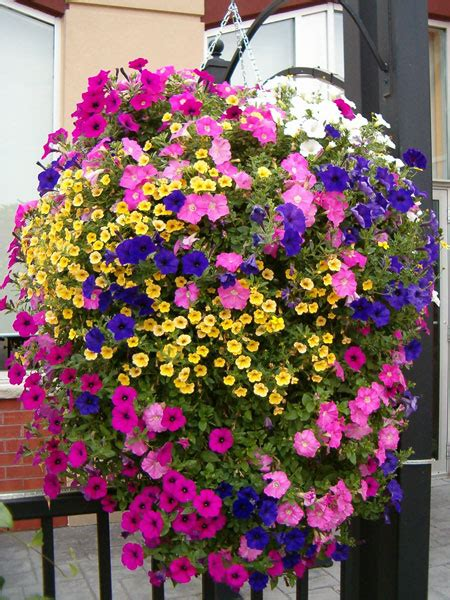 hanging basket flowers horkans lifestyle garden centre add colour and interest to your hanging baskets containers