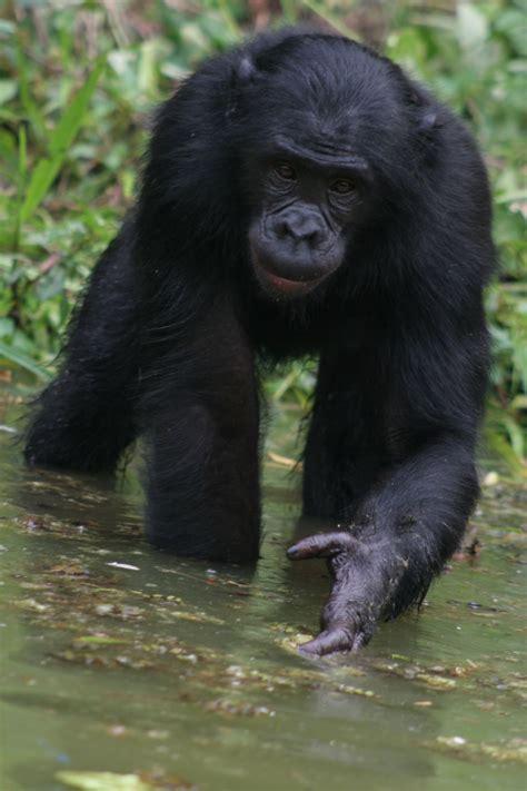 monkey blog bonobo wallpapers