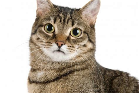 12 Cat Breeds That Live The Longest • The Catnip Times
