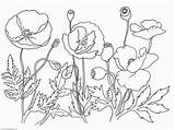 Poppy Coloring Flower Pages Drawing Poppies Printable Template Remembrance Print Oriental Clipart Sketch Leaves Getdrawings Sheets Trolls Comments Clip Getcolorings sketch template
