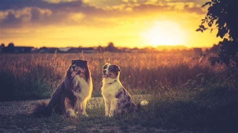 australian shepherds hd hd animals  wallpapers images