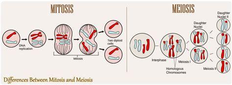 differences  mitosis  meiosis mitosis