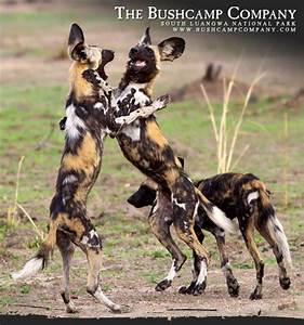 did you know african painted dogs