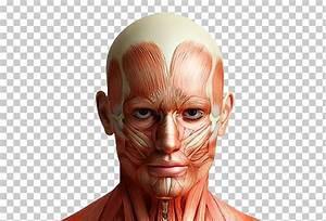 Body Organ Map Male