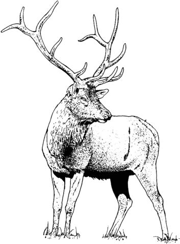 gorgeous elk deer coloring page  printable coloring