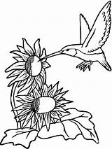 Hummingbird Coloring Pages Hummingbirds Sunflowers Sunflower Birds Printable Flowers Supercoloring Colors Recommended sketch template