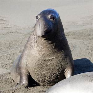Elephant Seal's Big Eyes | naturetime