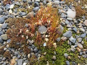 Arctic Tundra Caribou Moss