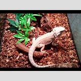 Leucistic Bearded Dragon | 480 x 360 jpeg 29kB