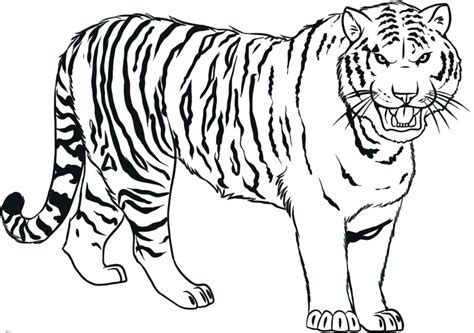 Tiger Drawing Pictures At Getdrawings.com