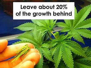 How Do I Control How Marijuana Grows During The Vegetative