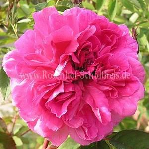 Wilde Triebe Rosen : rosa inermis 39 morletti 39 rosen online kaufen im rosenhof ~ Lizthompson.info Haus und Dekorationen