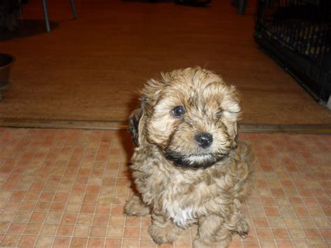 Lhasa Apso Poodle Mix Shedding by Lhasa Apso Poodle Puppies Breeds Picture