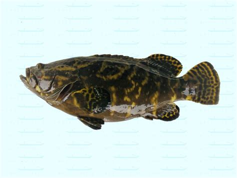 grouper 3kg pearl catch delivery