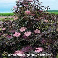 Holunder Black Beauty : sambucus nigra 39 black beauty 39 schwarzer holunder garten hecken und ~ Frokenaadalensverden.com Haus und Dekorationen