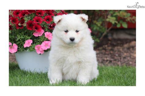 Fifi Samoyed Puppy For Sale Near Lancaster Pennsylvania