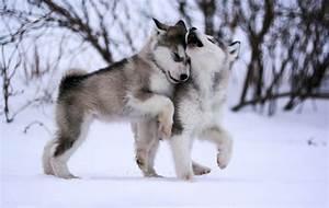 Alaskan Malamute Reviews and Pictures: Cute Alaskan ...
