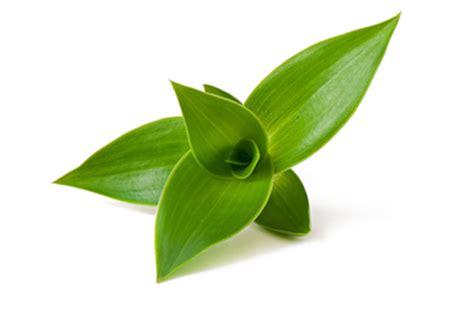 Léčivé byliny - kalisie tinktura, nabídky - prodám