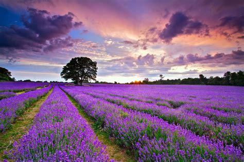 Field England Lavender Landscape Flowers Wallpaper