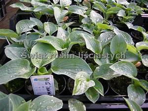 Funkie Big Daddy : funkia hosta big daddy sadzonka cena 9z ~ Michelbontemps.com Haus und Dekorationen