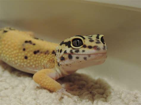 do leopard geckos shed their 100 do baby leopard geckos shed help u0027s