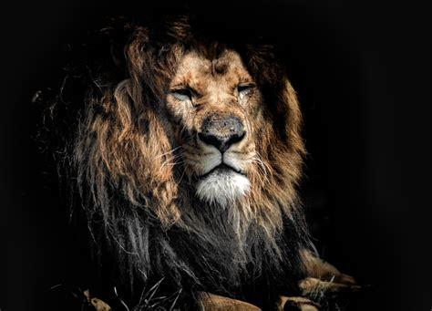 Old Lion 4k Uhd Wallpaper Hd Wallpaper